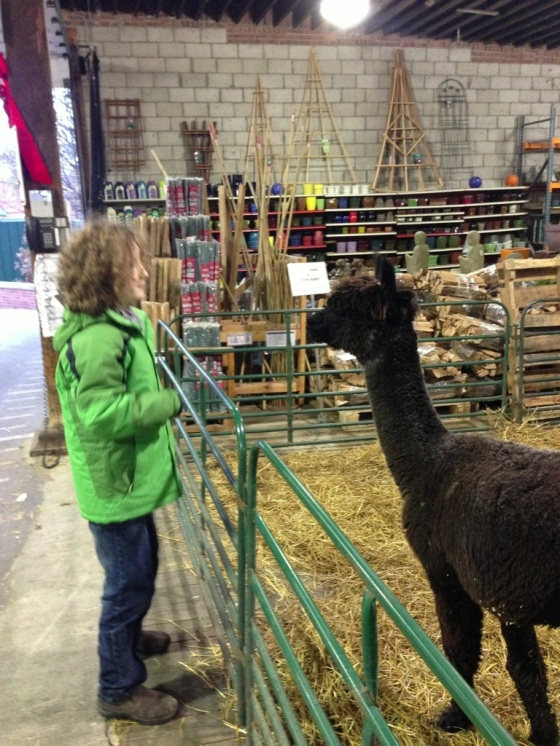 Little Buddha charming the alpaca